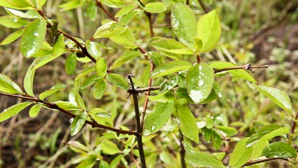 Rain droplets on natural vegetation in Caribou-Targhee National Forest